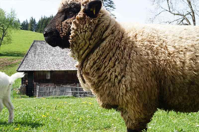 Wuscheliges Schaf